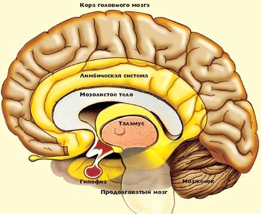 как эмоции управляют мозгом
